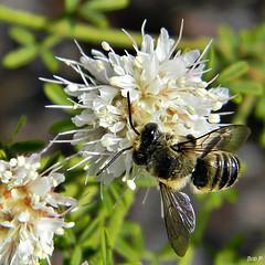Summer Farewell Blossom & Bee