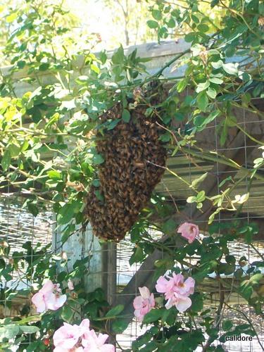 A swarm of Bees - resting!!!!