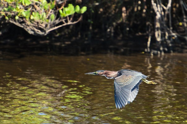 Little Green Heron in flight