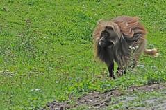 Dschelada im Tierpark CERZA bei Lisieux in der Normandie