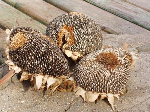 201111110027_dried-sunflower-heads