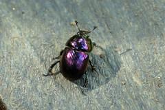 三保市民の森のセンチコガネ(Beetle, Miho Community Woods)