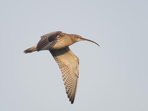 Curlew-flight_4