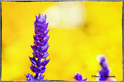 Purple Flower by davidyuweb