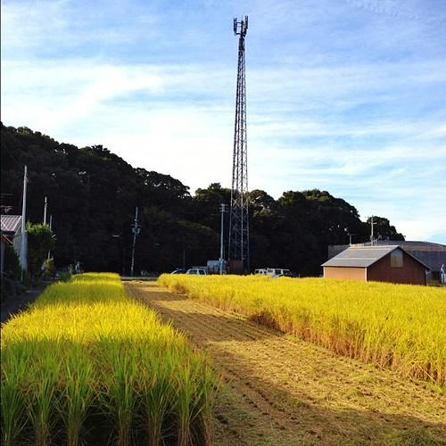 収穫の季節。  #iphonography #instagram #iphone4s