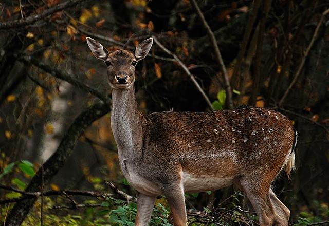 female fallow deer, dama dama, dovhind