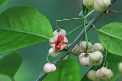 三保市民の森のマユミ(実)(Nuts, Miho Community Woods)