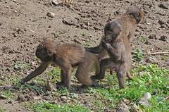 Junge Dscheladas im Tierpark CERZA bei Lisieux in der Normandie