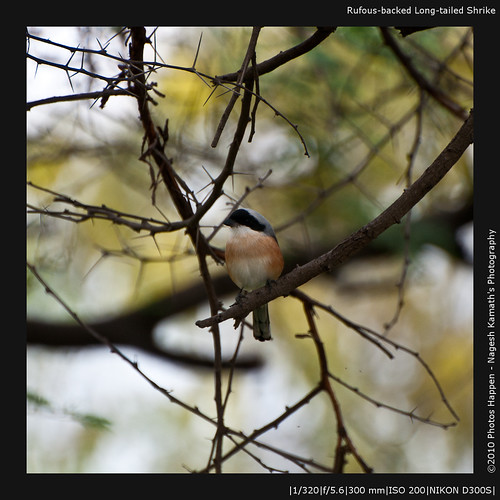 Rufous-backed Long-tailed Shrike