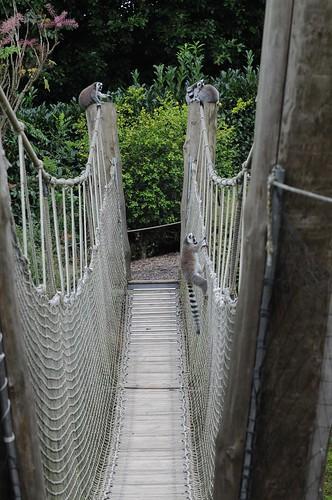 Kattas im Parc zoologique de Champrepus