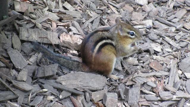 chipmunk. later I named him Charlie.