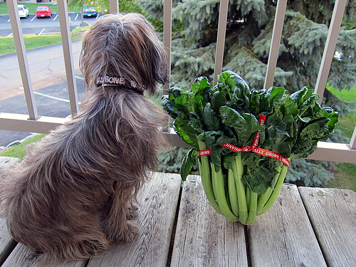Photo of a small dog sitting next to a head of tatsoi, which is propped up against a balcony railing. The tatsoi reaches the dog's neck.
