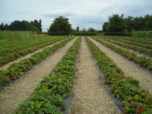Pick Your Own in Surrey 01