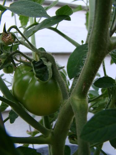 Big Momma Tomato