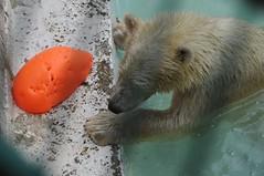 Eisbärin Qannik in der Monde Sauvage Safari