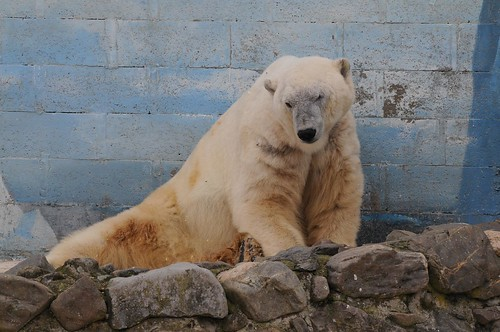 Eisbär Tim in der Monde Sauvage Safari