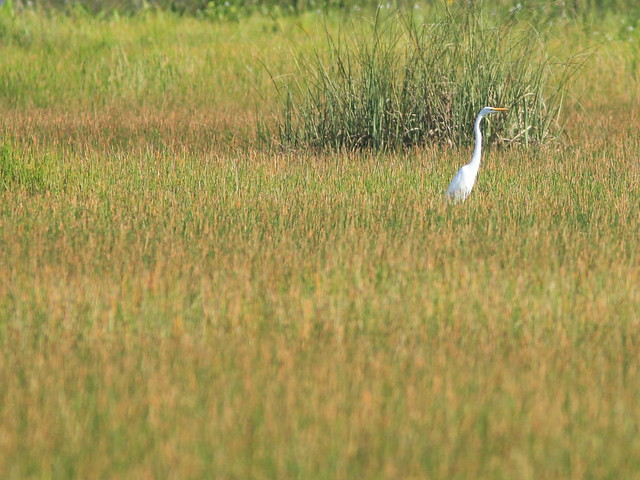 Egret  in sedge meadow 20111001