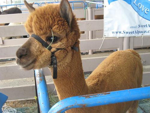 2011_10_01_Lambtown_b_alpaca