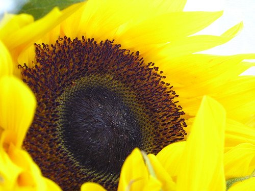 Sunflowers 01