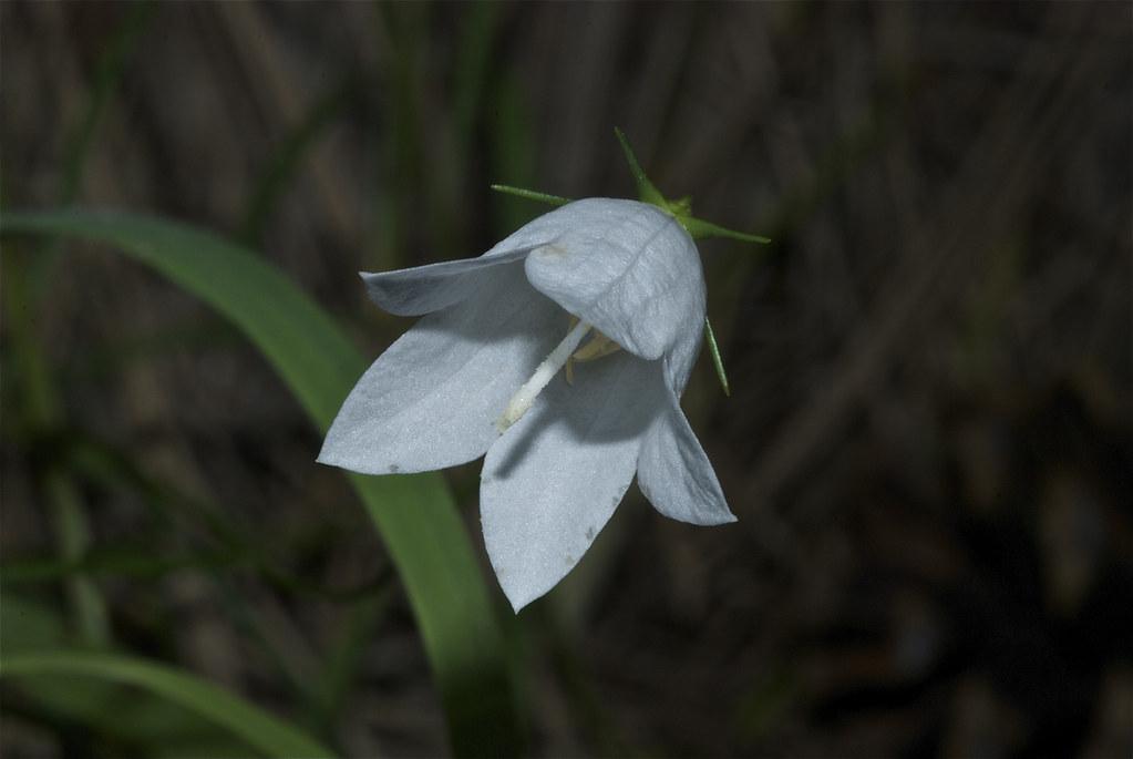 White Harebell