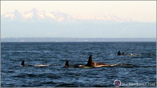 Whale Watching in Steveston (7 of 9)