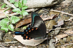 瀬上市民の森のカラスアゲハ(Butterfly, Segami Community Woods)