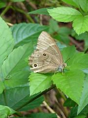 金沢自然公園のヒカゲチョウ(Butterfly, Kanazawa Nature Park)