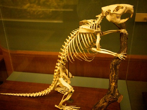 An otter skeleton in a glass and wood display case. The skeleton is posted half-standing, paws on a branch.