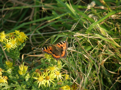 Small tortoiseshell on ragwort