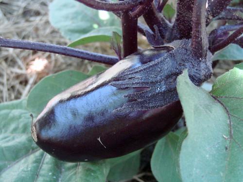 EggplantBaby2