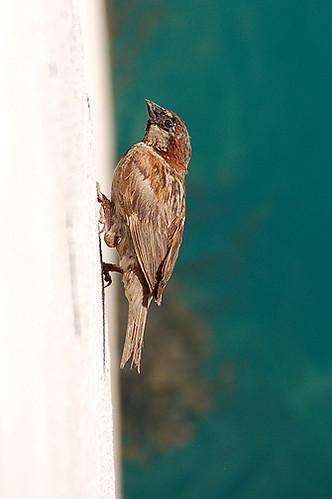 sparrow on wall