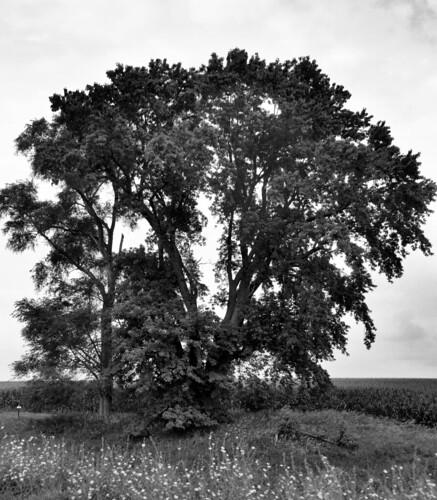 big tree B & W