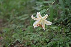 新治市民の森のヤマユリ(Lily, Niiharu Community Woods, Yokohama, Japan)