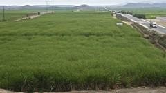 Plantaciones de caña