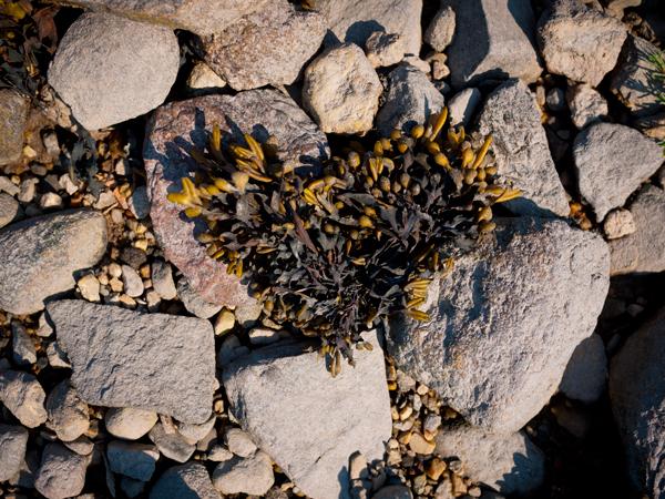 1-Seaweed-Heart