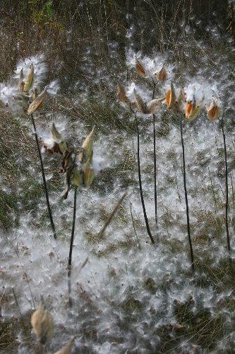 Milkweed snow