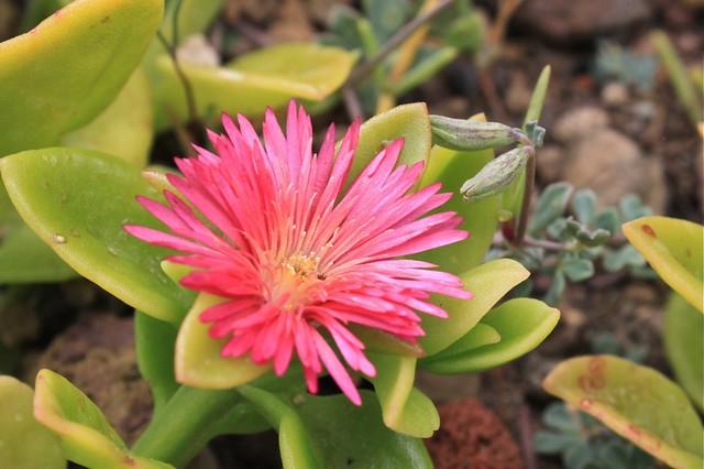 Fleur vive, Santorin, Grèce