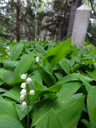 Lily-of-the-Valley on the Winsor graves