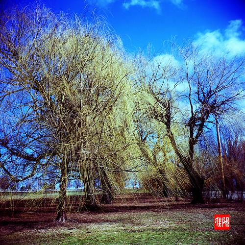 KodakDuaflexIV CHI Velvia100 LP-Willows01B