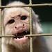 White Capuchin (2)