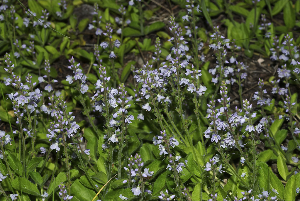 Herbal Speedwell, Paul's Betony