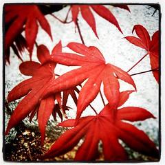Still Life (outside) #flora #red