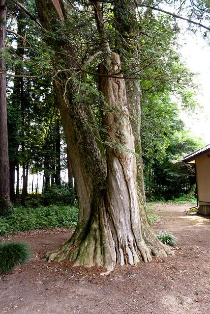 #7 The Forked Nutmeg-yew of Sagehashi