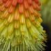 macro red hot poker flower