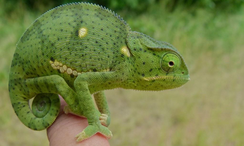 Flap-neck Chameleon (Chamaeleo dilepis) by berniedup, on Flickr