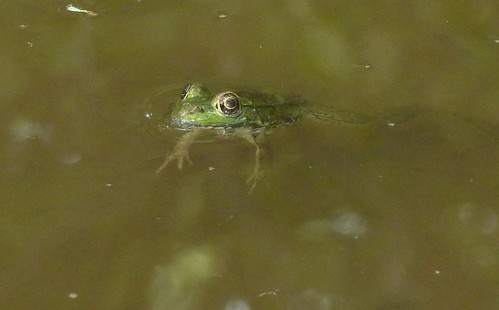 Frog in a puddle