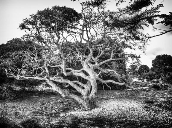 The Tree at Carmel Beach