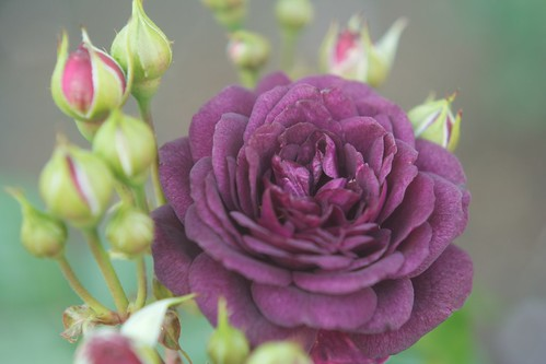 Purple Rose by Robin Mathias
