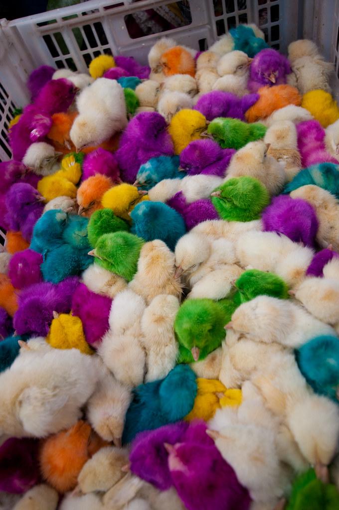 Colorful chicks in the Minervia Market, Xela, Guatemala