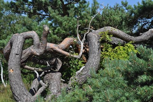 Seaside pine